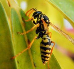 Hoe kan ik het best wespen verdelgen?